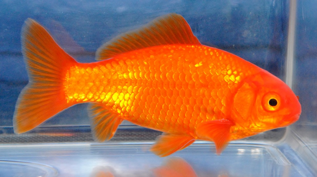 common goldfish the association of midland goldfish keepers